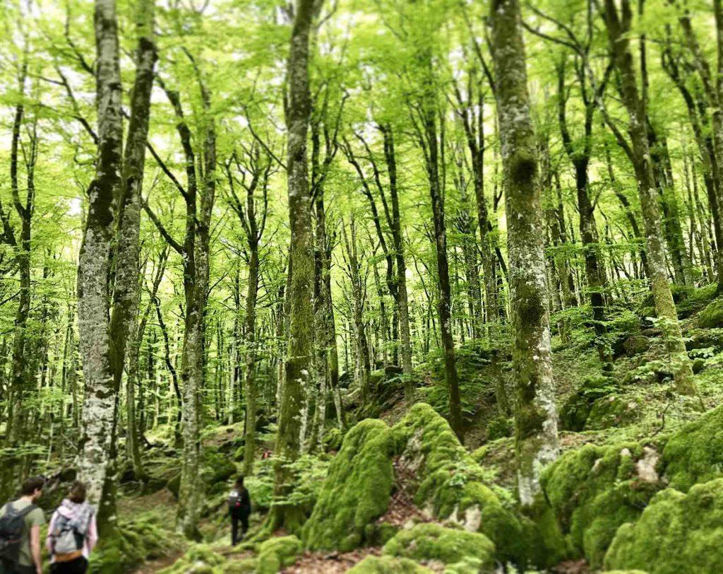 primavera faggi verde trekking